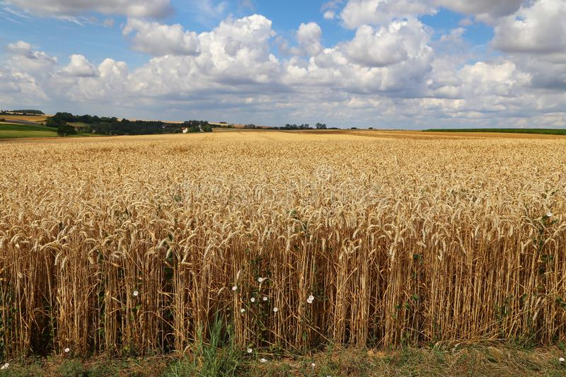 Rural landscape with yellow fields of mature wheat.  stock photography