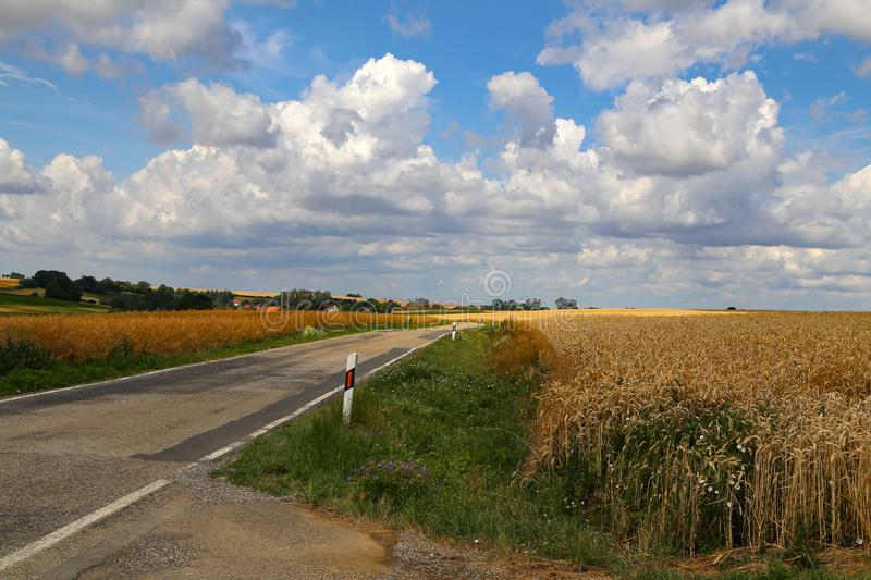 Rural landscape with yellow fields of mature wheat.  royalty free stock image