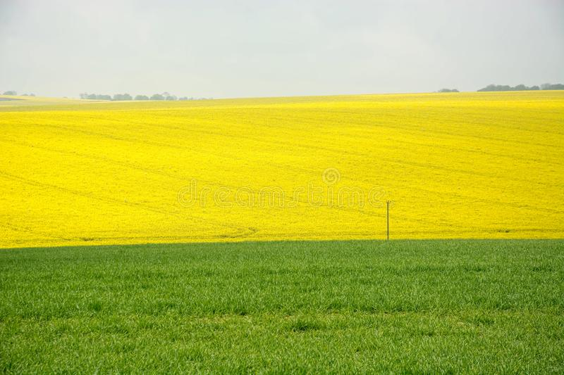 Rural Landscape. Yellow & green agricultural scenery. Fields of yellow rape seed in full bloom and grazing grass royalty free stock images