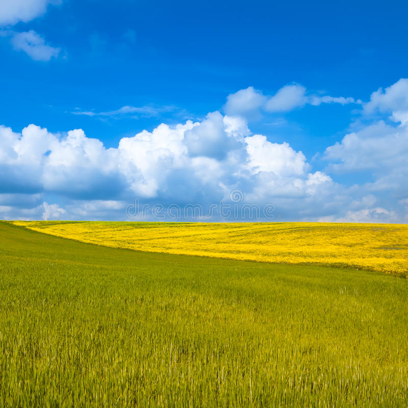 Rural landscape. Yellow and green field with cloudy blue sky. Rural landscape. Yellow and green wheat field with cloudy blue sky. Spring season in tuscany stock images