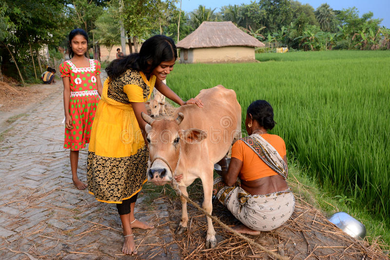 Rural Lifestyle. Grandmother is milking a cow in the remote village of India stock photos