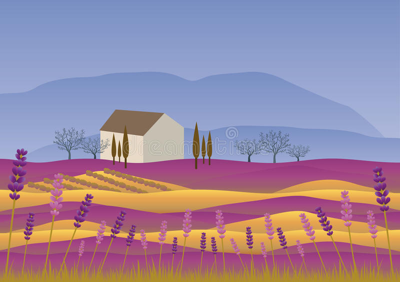 Rural mediterranean landscape. Lavender landscape at summer sunset. In the foreground lavender flowers are in bloom, a golden wheat field with a vineyard house vector illustration