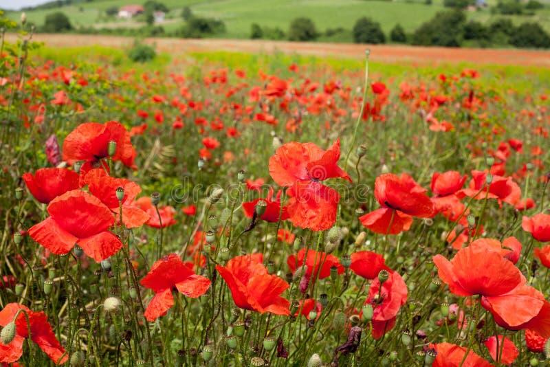 Rural poppy field royalty free stock image