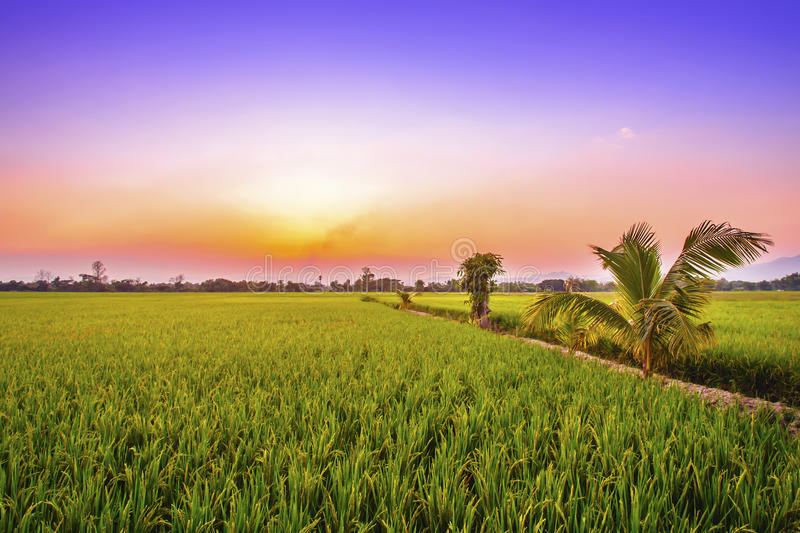 Rural rice field in the sunset royalty free stock image