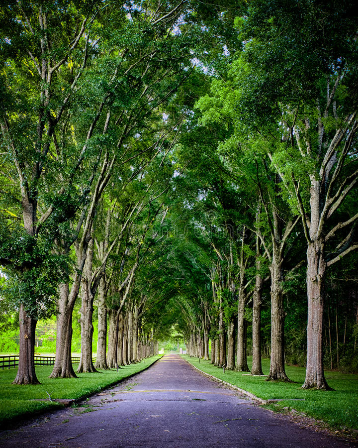 Rural road lined by oak trees stock images