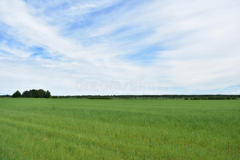 Rural rustic landscape field of green lush grass sky clouds. Attracts tranquility, a kind of poetry of rural life, harmony with nature royalty free stock image