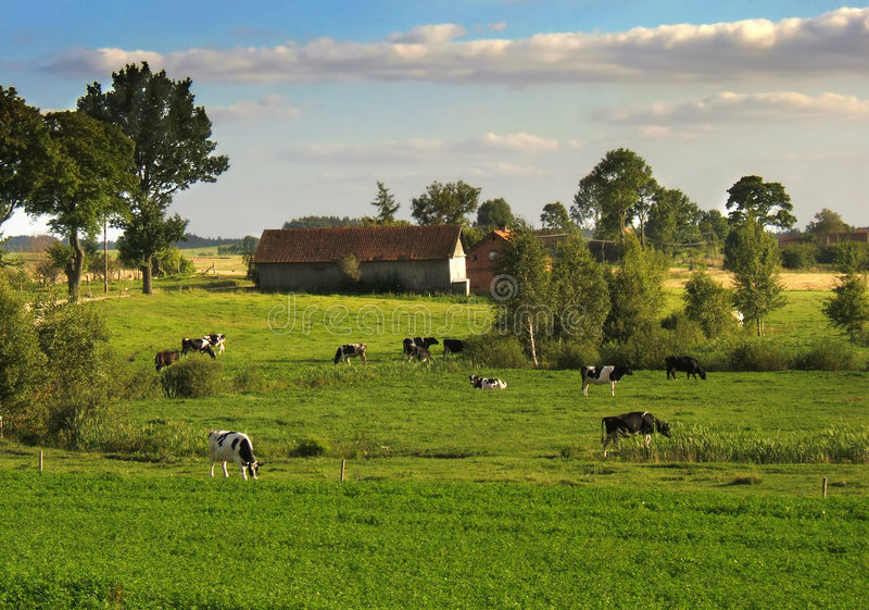 Rural scene. With cows stock photos