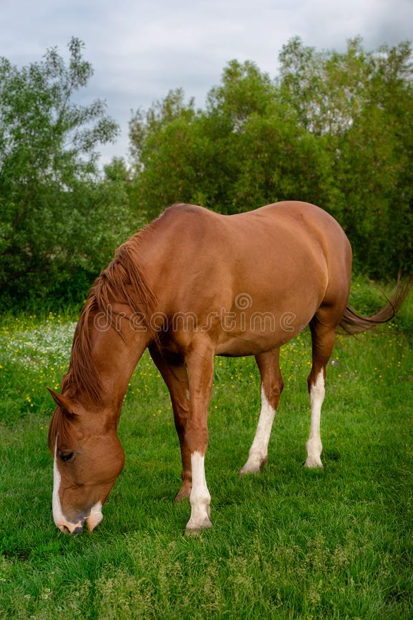 Rural Scene with A Horse Grazing Grass on A Meadow in Springtime stock photos