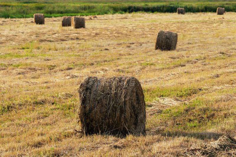 Rural scene, view of golden hay rolls on mowed field on sunny day. Dry weather well suited for agricultural work stock photo