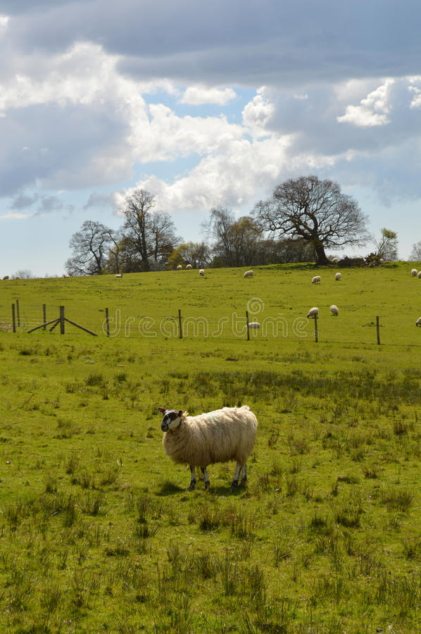 Rural scene in the West Sussex countryside. Sheep graze on lush pasture land in the rural County of West Sussex in the United Kingdom royalty free stock photo
