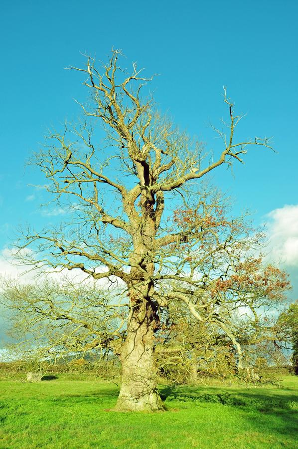 Bare Summertime Oak tree in the English countryside. A rural summertime landscape scene with clouds and blue skies and a bare grand old oak tree royalty free stock image