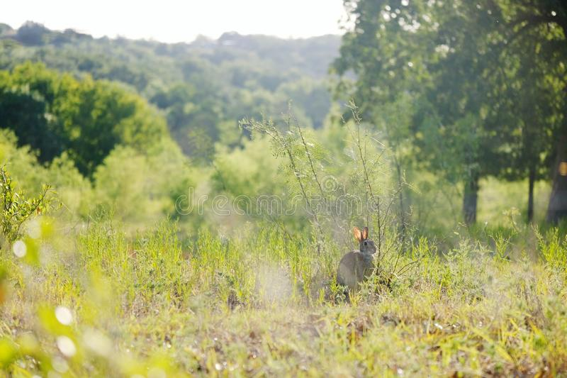 Rural Texas Landscape. Wild rabbit in rural landscape shows Texas field during summer royalty free stock image