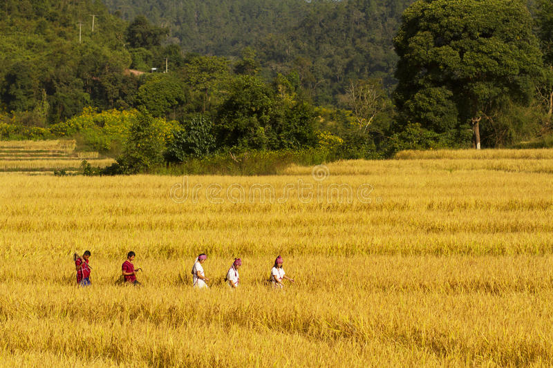 Rural Thailand Rice Harvest Time Editorial Photo