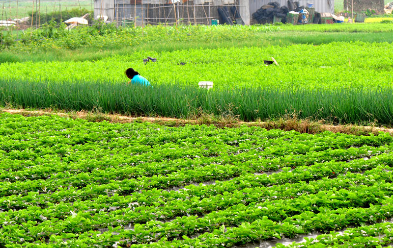 Rural village farm. Woman farming at strawberry and vegetable field,guangzhou city,china pic on nov 16,2011 stock photography