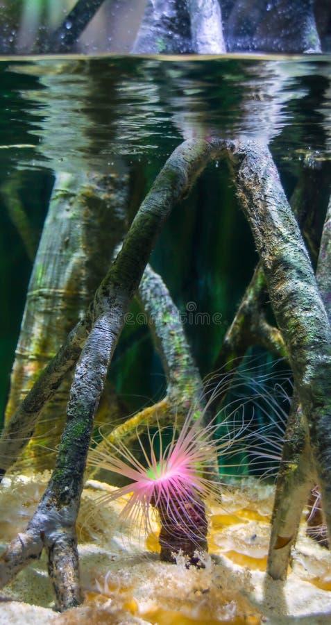 Ruruje anemon lub butla anemon, Cerianthus membranaceus zdjęcie royalty free