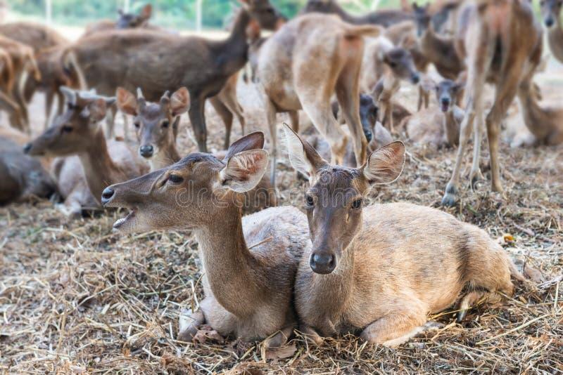 Rusa-Rotwild im LandwirtschaftsBauernhof mit Viehhaltung stockbilder