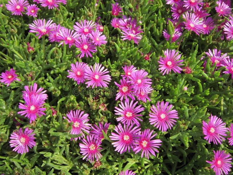 Ruschia Calvinia pink royalty free stock image