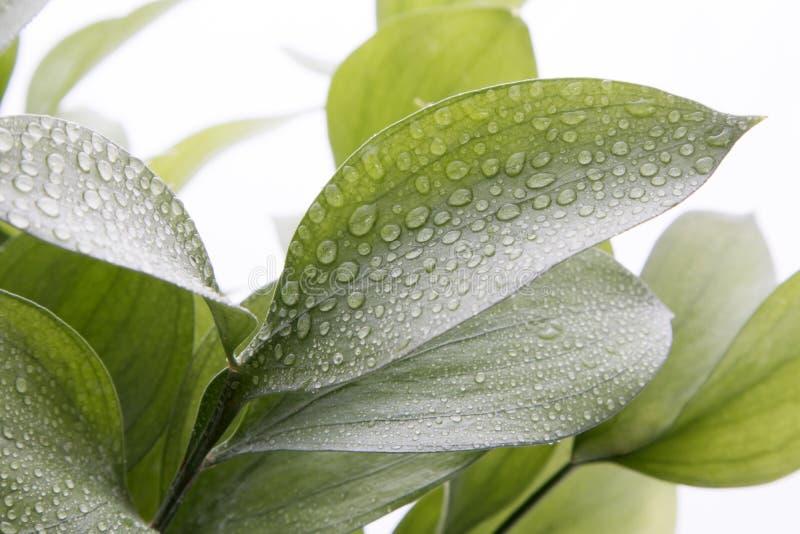 Ruscus-hypophyllum, Ongewervelde die Slagers` s Bezem, de installatie van het bloemistengebladerte, op wit wordt geïsoleerd stock foto's