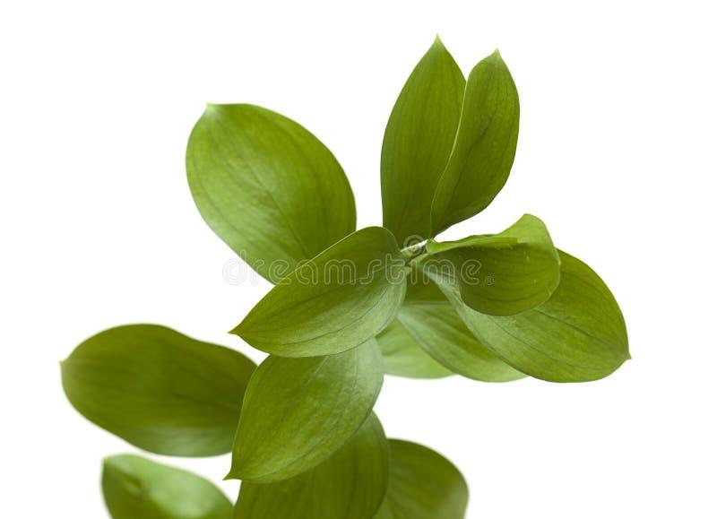 Ruscushypophyllum, Ongewervelde Slagers` s Bezem stock afbeeldingen