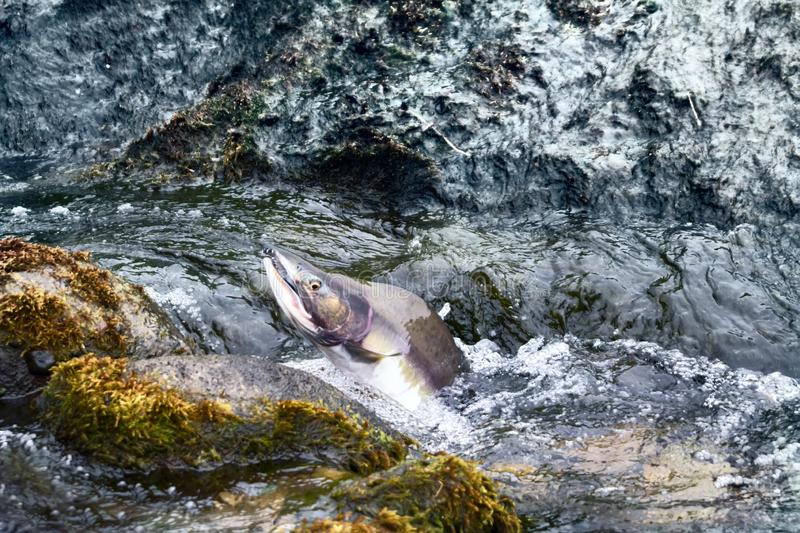 Rush of salmon to spawning grounds. Struggle for survival. Rush of salmon to spawning grounds and overcomes the streams of water - rheophil fish. Aleutian royalty free stock photography