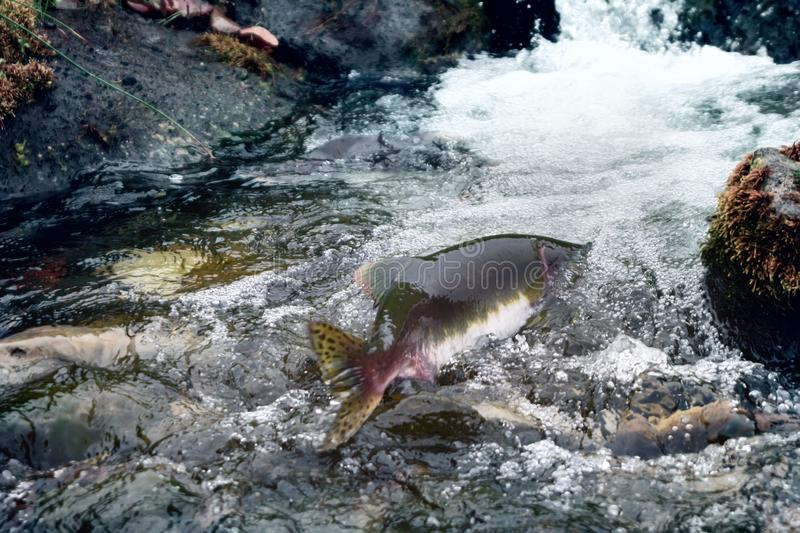 Rush of salmon to spawning grounds. Struggle for survival. Rush of salmon to spawning grounds and overcomes the streams of water - rheophil fish. Aleutian stock photos