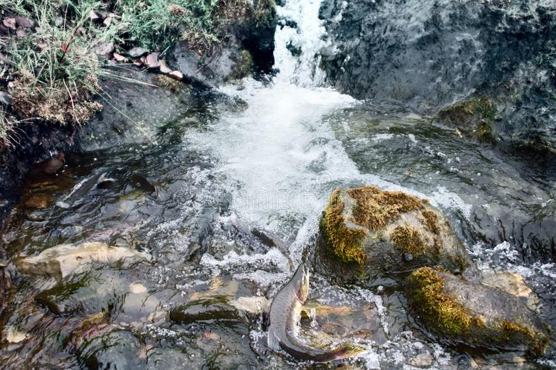 Rush of salmon to spawning grounds. Struggle for survival. Rush of salmon to spawning grounds and overcomes the streams of water - rheophil fish. Aleutian stock image