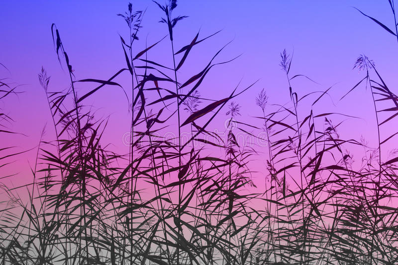 Rush sky. Cane / rush / reed bush in front of blue / violet / purple sky during sunset /sunrise / morning / evening. Abstract patern silhouette background / royalty free stock images
