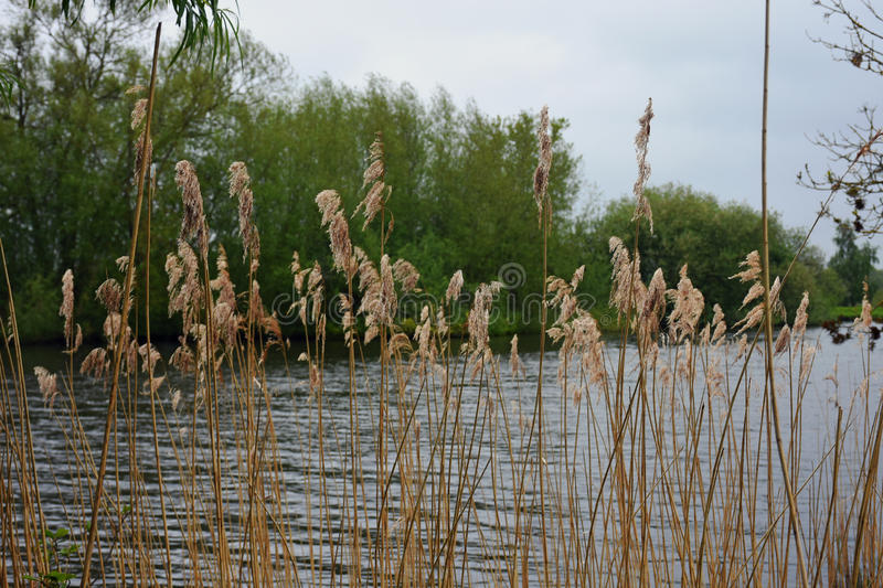 Rushes, River Yare, Norfolk Broads, England. Rushes on the River Yare, Norfolk Broads, England stock photography