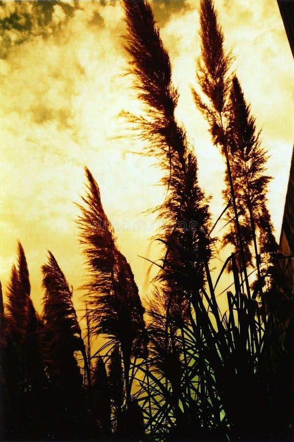 rushes wind στοκ εικόνα με δικαίωμα ελεύθερης χρήσης