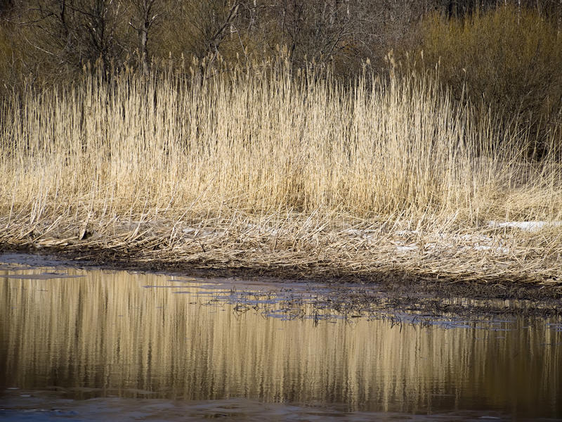 Rushy shore. Rush with reflection on the water royalty free stock photography