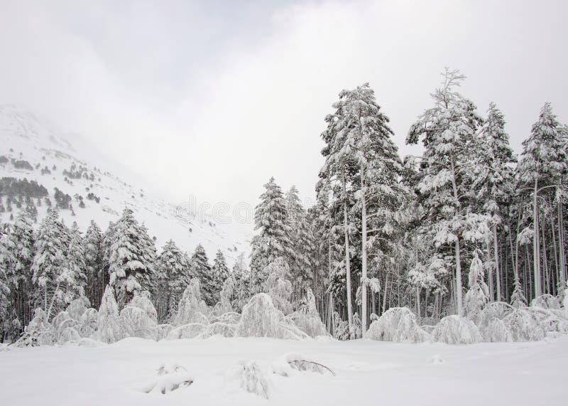 Rusia. El Cáucaso. Estación de esquí de Elbrus. Pinos en nieve imágenes de archivo libres de regalías