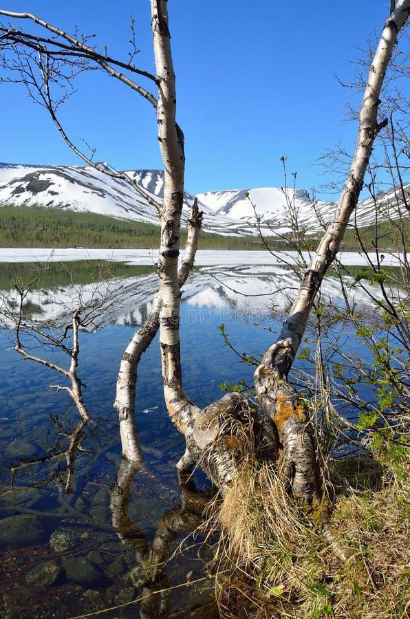 Rusia, Kola Peninsula, Khibiny El árbol de abedul está en la orilla del lago pequeño Vudyavr en verano en tiempo claro imagen de archivo