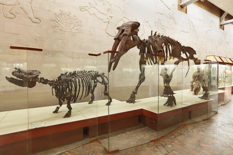 Atavus van Brachypotherium en van mastodontGomphotherium (Borissiak) royalty-vrije stock afbeelding