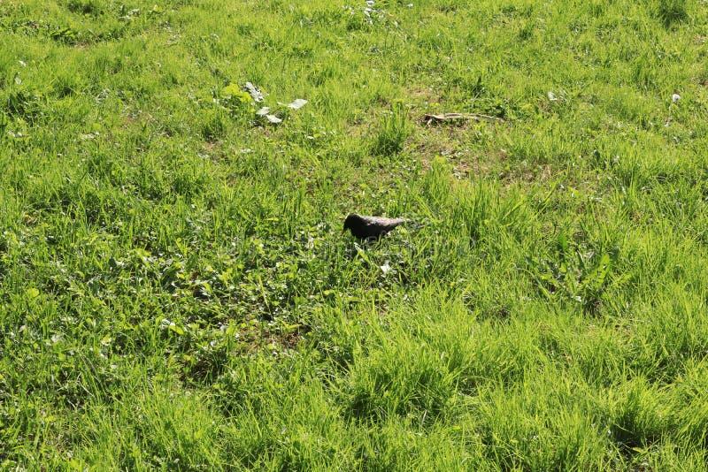 Rusland, Sokolniki-park, vogel op weide royalty-vrije stock afbeeldingen