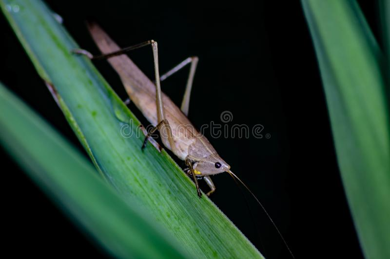 Ruspolia nitidula This grasshopper lives in wet and grassy areas but adapts to many habitats including the urban one. The frinito royalty free stock image