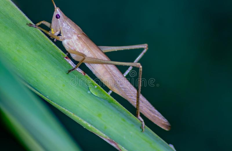 Ruspolia nitidula This grasshopper lives in wet and grassy areas but adapts to many habitats including the urban one. The frinito stock photos