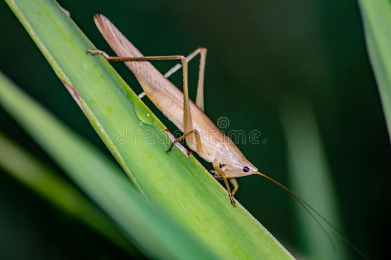 Ruspolia nitidula This grasshopper lives in wet and grassy areas but adapts to many habitats including the urban one. The frinito stock photography