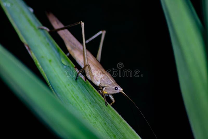 Ruspolia nitidula Ten pasikonik żyje w terenach, adaptuje wiele siedliska wliczając miastowy jeden ale mokrych i trawiastych Frin obraz royalty free