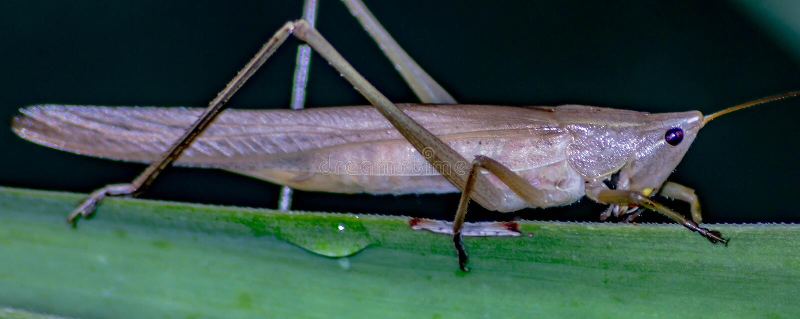 Ruspolia nitidula Ten pasikonik żyje w terenach, adaptuje wiele siedliska wliczając miastowy jeden ale mokrych i trawiastych Frin obraz stock