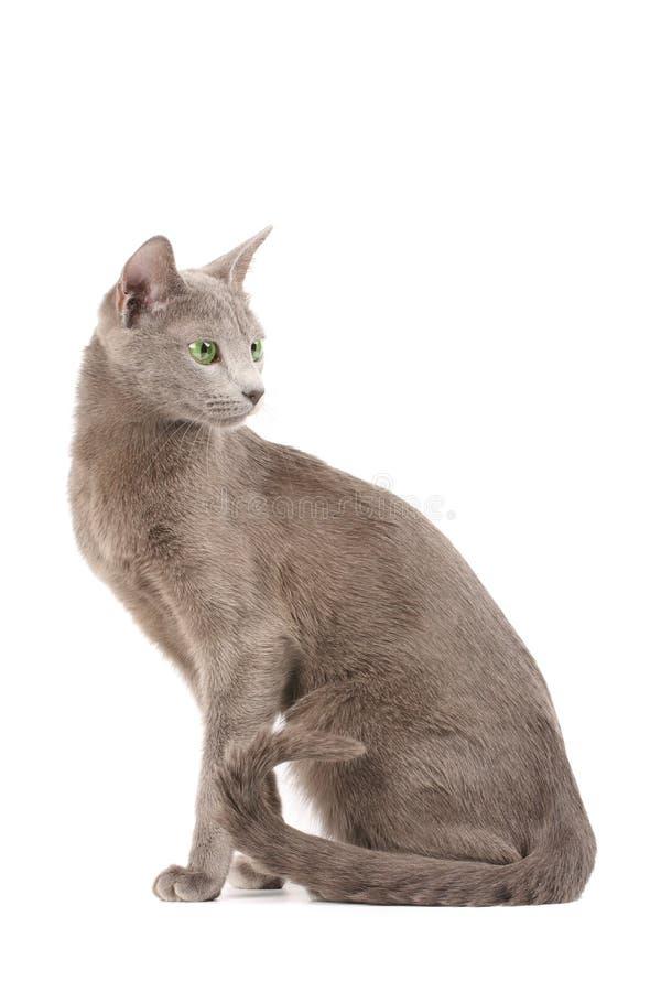 Russe de chat bleu photos libres de droits