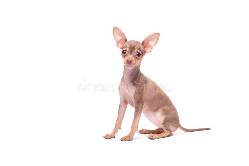 Russe Toy Terrier de chiot d'isolement sur le blanc images stock