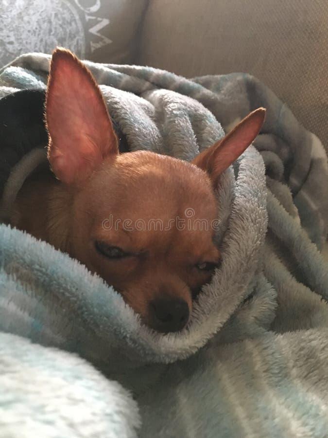 Russe Toy Terrier et x22 ; Lola& x22 ; images libres de droits