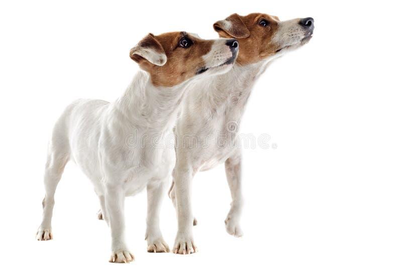 Russel för två stålar terrier royaltyfria foton