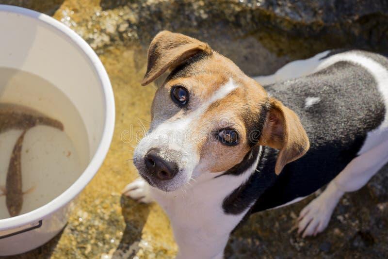 Russell för fiskehundstålar terrier fotografering för bildbyråer