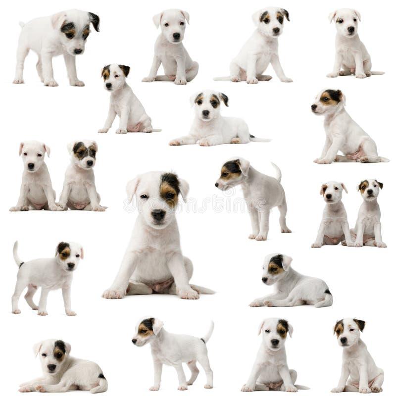 russell för samlingsparsonvalpar terrier royaltyfri bild