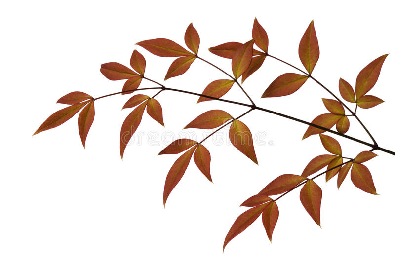 Download Russet Leaves stock image. Image of gold, white, background - 16043791
