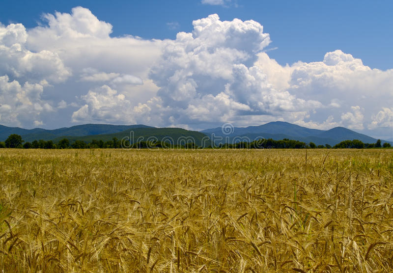 russia śródpolni dojrzali wheats zdjęcie stock