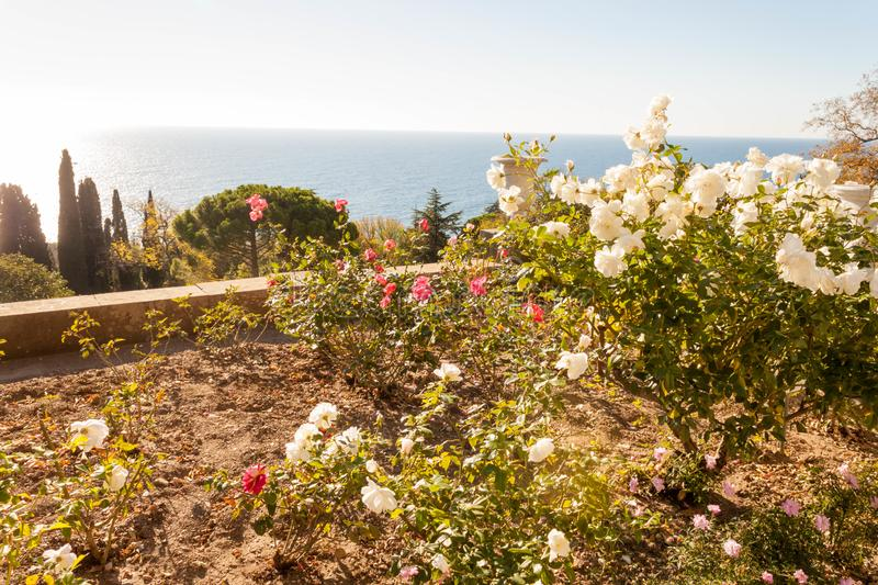 Russia, Crimea, Alupka 03 November 2018: Roses on the terraces on the South side of Vorontsov Palace. Russia, Crimea, Alupka 03 November 2018: Roses on the royalty free stock images