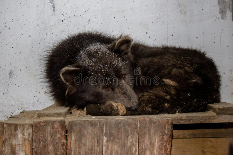Medvebaka. The Russian dog that looks like a BEAR!. In Russia they found a dog with a bear`s head. now the animal is in the shelter. the dog is very like a bear royalty free stock image