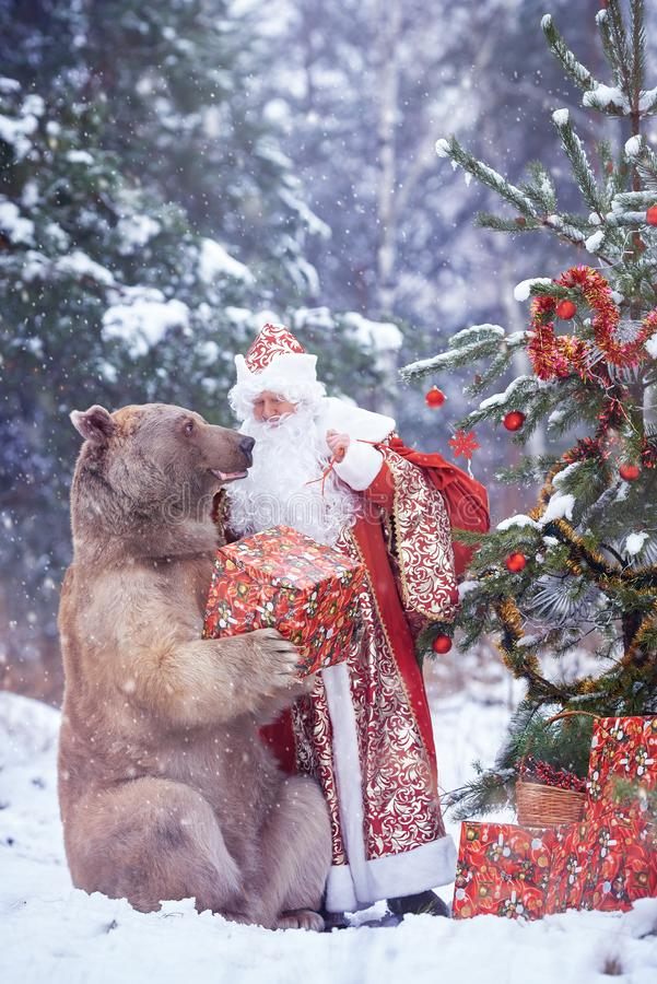Santa Claus gives Christmas present to brown bear royalty free stock photography